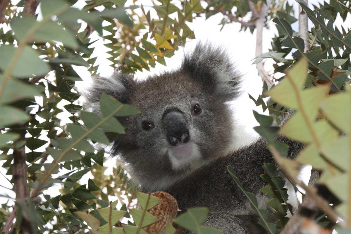 koalas' mating rituals - solitary life