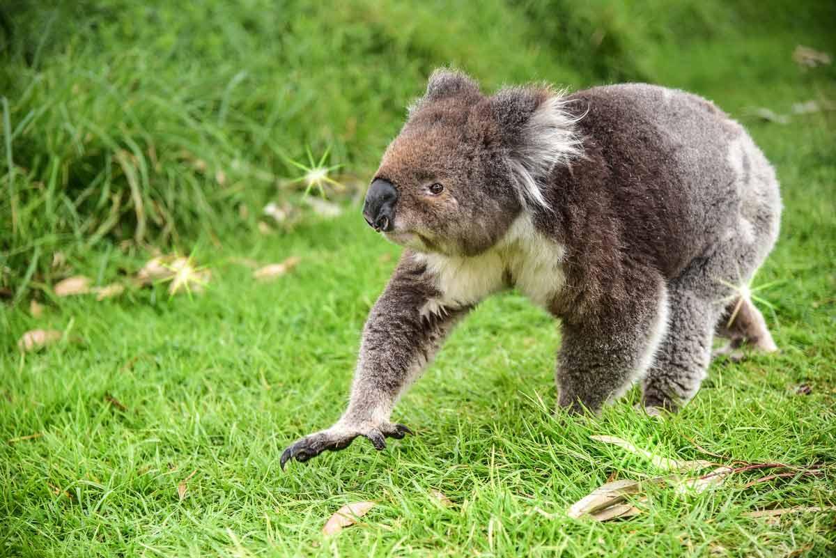 koalas' mating rituals - finding the perfect mate