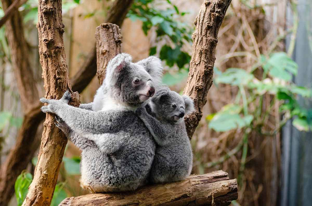koalas' mating rituals - raising the joey