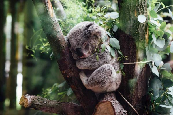 koalas' mating rituals – sleeping koala