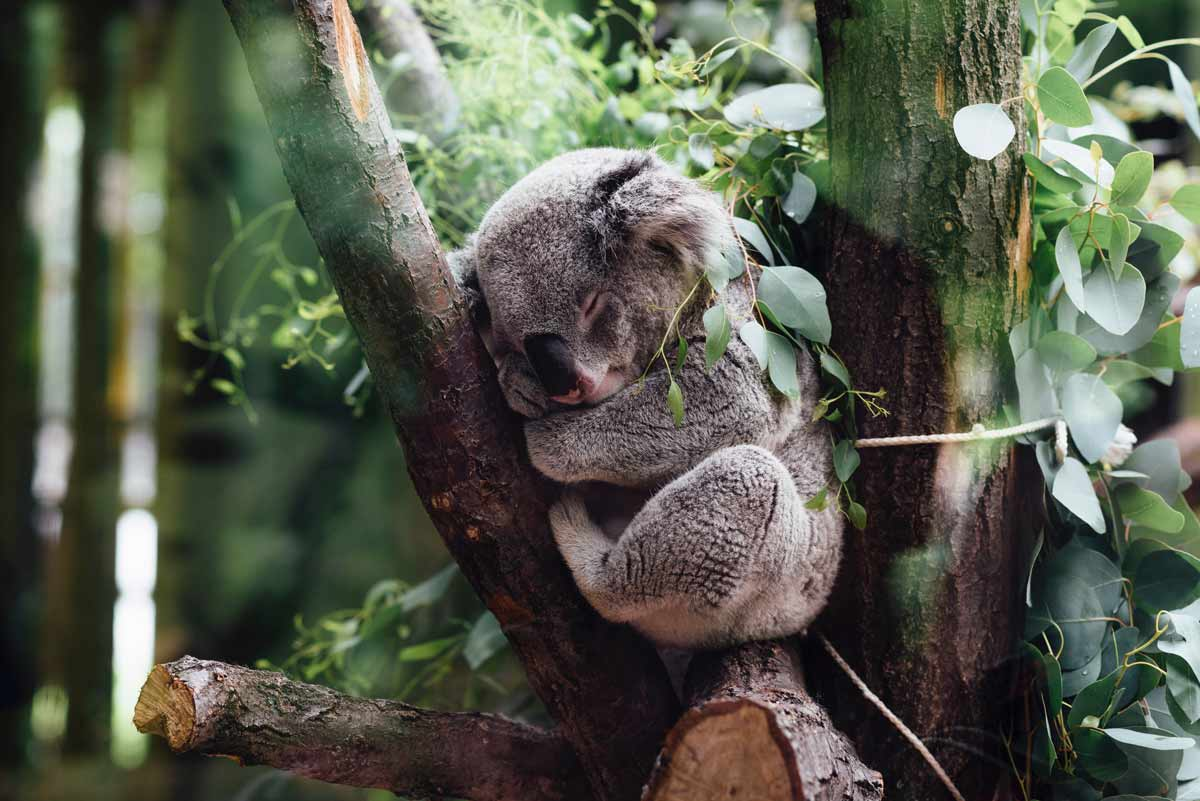 koalas' mating rituals – sleeping koala