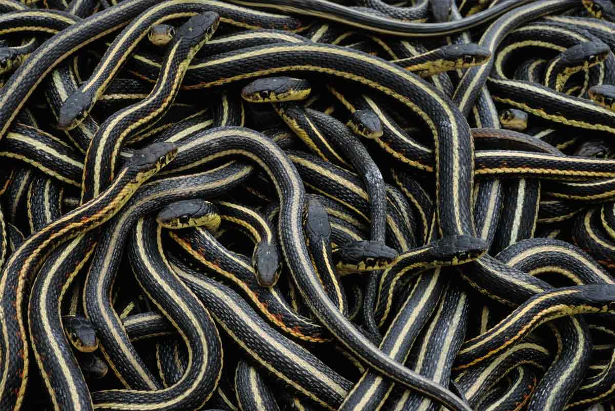 snake orgy - World's largest snake orgy to death in Canada