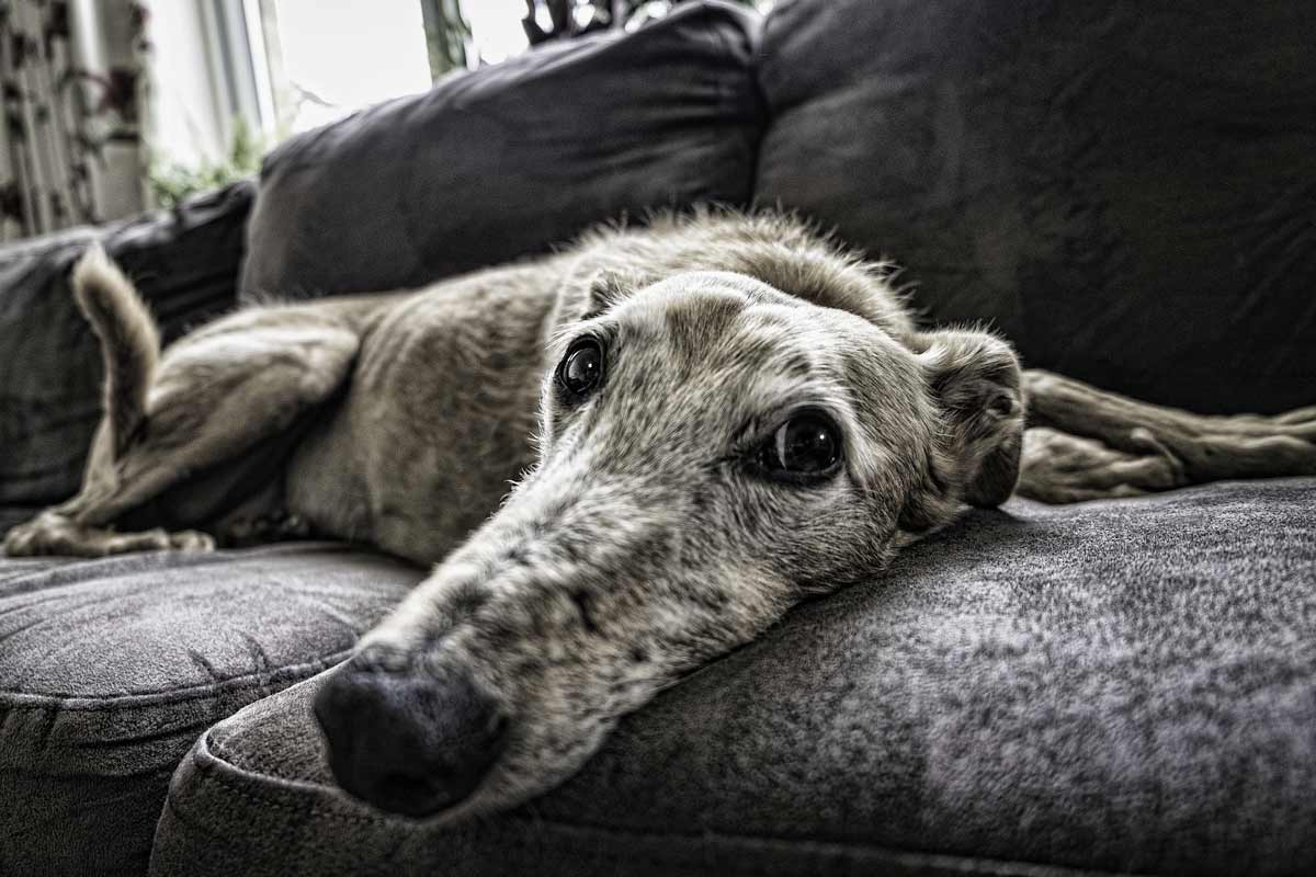 anxiety in dogs - old dog