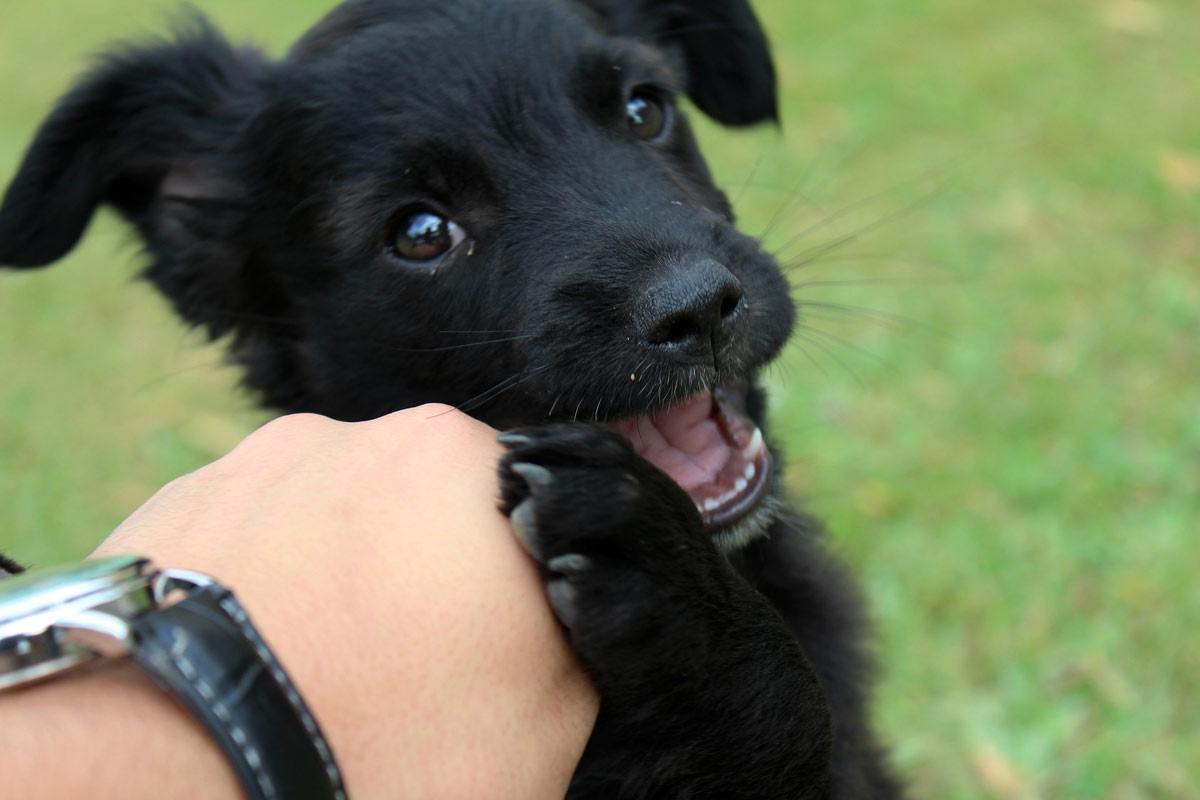 facts about puppies - puppy teeth - chewing