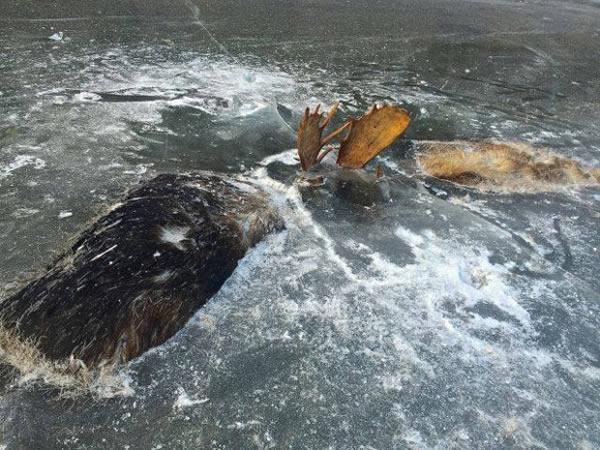 frozen animals fighting moose