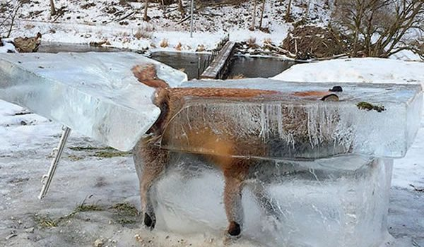 frozen animals fox