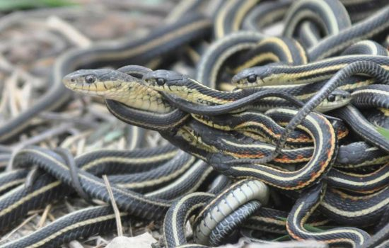 World's largest snake orgy to death